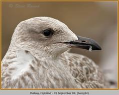 herring-gull-34.jpg