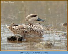 marbled-duck-08.jpg