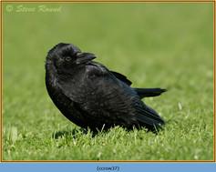 carrion-crow-37.jpg