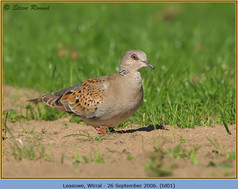 turtle-dove-01.jpg