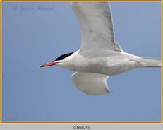 common-tern-29.jpg