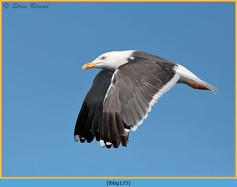 lesser-black-backed-gull-125.jpg