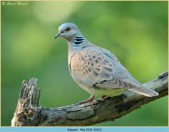 turtle-dove-22.jpg
