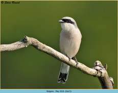 red-backed-shrike-15.jpg