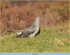 cuckoo-137.jpg