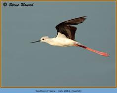 black-winged-stilt-56.jpg