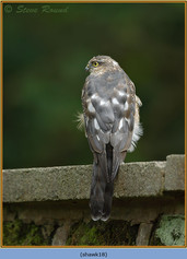 sparrowhawk-18.jpg