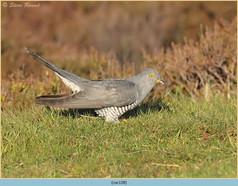 cuckoo-128.jpg