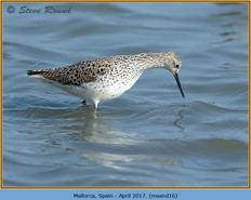 marsh-sandpiper-16.jpg