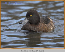 tufted-duck-15.jpg