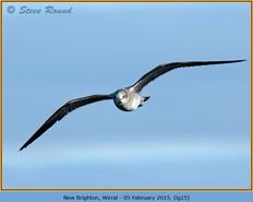 laughing-gull-15.jpg