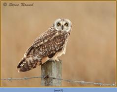 short-eared-owl-47.jpg