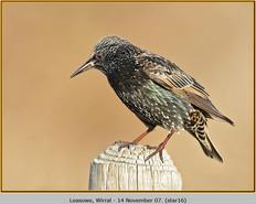 starling-16.jpg