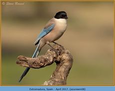 azure-winged-magpie-08.jpg