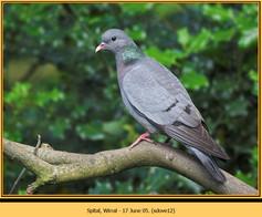 stock-dove-12.jpg