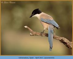 azure-winged-magpie-03.jpg
