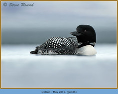 great-northern-diver-36.jpg