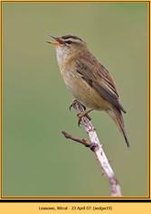 sedge-warbler-19.jpg