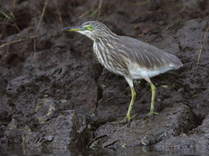 indian-pond-heron-01.jpg