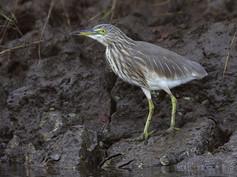 indian-pond-heron-01.jpg