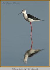 black-winged-stilt-43.jpg