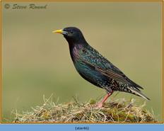 starling-46.jpg