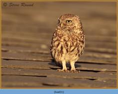 little-owl-31.jpg