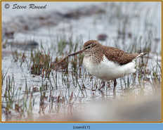common-sandpiper-17.jpg