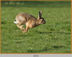 brown-hare-51.jpg