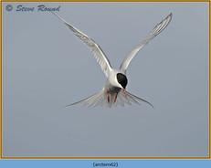 arctic-tern-62.jpg