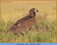 black-vulture-09.jpg