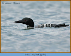 great-northern-diver-56.jpg