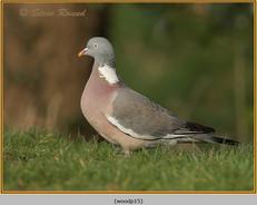 wood-pigeon-15.jpg