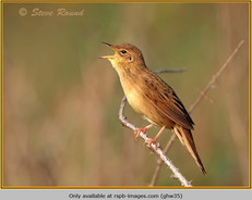 grasshopper-warbler-35.jpg