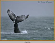 humpback-whale-06.jpg