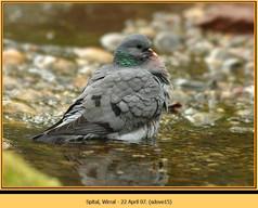 stock-dove-15.jpg