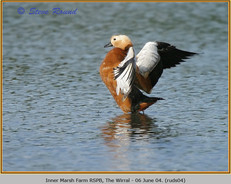 ruddy-shelduck-04.jpg