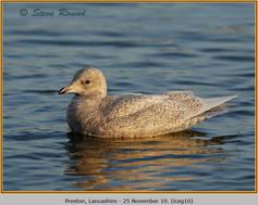iceland-gull-10.jpg