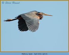 purple-heron-13.jpg