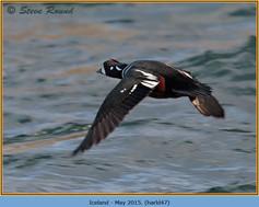 harlequin-duck-47.jpg