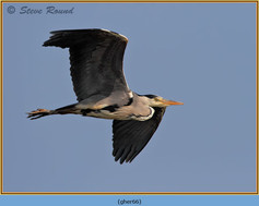 grey-heron-66.jpg