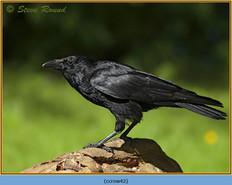 carrion-crow-42.jpg