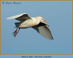 cattle-egret-66.jpg