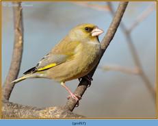 greenfinch-97.jpg