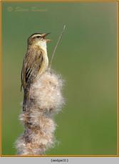 sedge-warbler-31.jpg