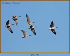 pink-footed-goose-48.jpg