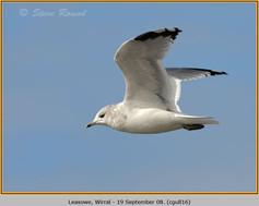 common-gull-16.jpg