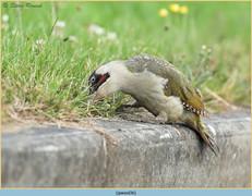 green-woodpecker-36.jpg