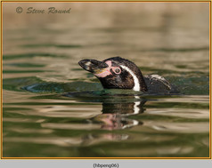 humboldt-penguin-06c.jpg