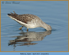 marsh-sandpiper-01.jpg